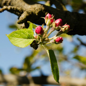 Apple flowers small